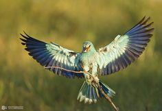 Welcoming the sunrise  Birds in Bulgaria!European Roller (Coracias garrulus)