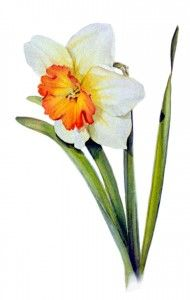 watercolor paintings of daffodils - Google Search