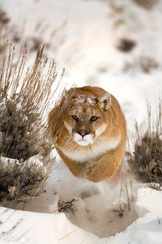 #cougar #mountain #lion #Puma    Photo by suha -catman #bigcat