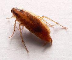 alman hamam böceği