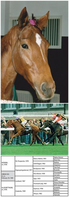 1. Headshot of Urban Sea. Photo taken on the eve of her victory in the Prix de l'Arc de Triomphe, in 1993. 2. Urban Sea (February 18, 1989 - 2 March 2009) was a French Thoroughbred racemare, seen here, winning France's most prestigious race, the Arc d'Triomphe in 1993. She is one of only two mares to ever produce two Epsom Derby winners, namely Galileo and Sea the Stars. 3. Pedigree chart for Urban Sea.