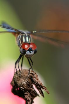 Dragonfly by Meshel13