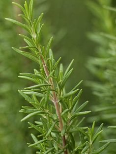 Rosemary is tender perennial i.e. has to be taken in for Winter. This one was baby from Nicky Spring 2012