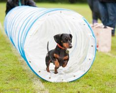 """""""I rocked this course!"""" yes U did my doxie beauty..see U at the finish line"""