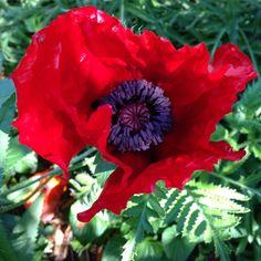 A different perennial poppy (Papaver orientale) is open in my garden.