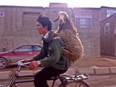 What can I say, it is a pic sheep hitching a lift on the back of an Asian guy riding a bicycle