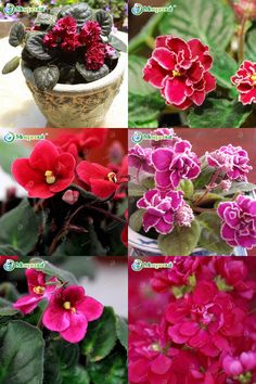 [Visit to Buy] 50 PCS Red Violet Seeds Garden Plants Flower Seeds Potted Violet Perennial Herb Matthiola Incana Seed #Advertisement