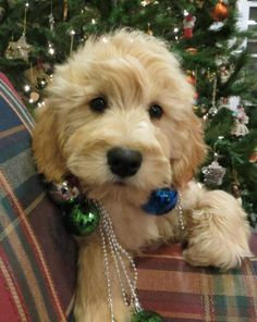 """probably one of the cutest puppies ever! We got our Goldendoodle from this breeder. They are fantastic! <-- """"What are these ornaments of which you speak? Mini Goldendoodle, Goldendoodle Haircuts, Goldendoodles, Labradoodles, Puppies And Kitties, Cute Puppies, Cute Dogs, Doggies, Teacup Dog Breeds"""