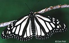Monarch - white variation (nivosus phenotype - white morph) which is extremely rare (1%), with the exception being in Oahu, HI where they have reached 10% frequency.