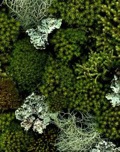 I am moving mosses and lichens from areas in our yard to make a rock, moss and lichen garden. Hope it looks like this