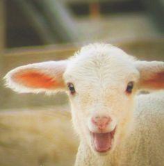 pretty little lamb...