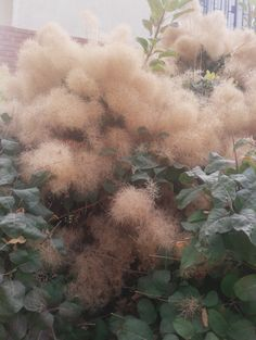 Smoke bush in bloom Outdoor Plants, Garden Plants, House Plants, Outdoor Gardens, Smoke Tree, Gardening, Cool Plants, Dream Garden, Horticulture