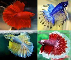 Ik zit duidelijk in mijn Betta fase: wat een prachtige aquariumvissen!: https://nl.pinterest.com/explore/aquariumvissen-938508305696