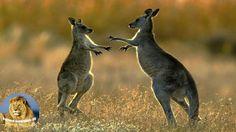 Wild Discovery Animals - Kangaroo of The King - Wildlife Documentary HD .