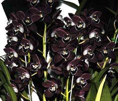 Almost Black cymbidium orchid