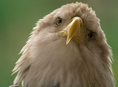 (c) Tara Tanaka - Bald Eagle (Haliaeetus leucocephalus) digiscoped with a SWAROVSKI OPTIK STM 80 HD #digiscoping