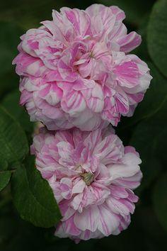 Gallica Rose: Rosa 'Tricolore de Flandre' (Belgium. before 1846)