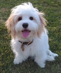 Cavachon. . . .most adorable dog ever!