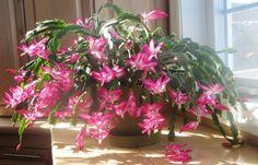 Miért nem virágzik időben a karácsonyi kaktusz?