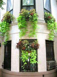 Batat (sötpotatis) som hängare i fönsterlådor