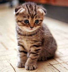 munchkin cat scottish fold - Google Search