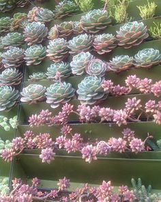 #verticalgarden #succulent  #succulove if you love succulents so much why dont put them in a wall. #echeveria #imbricata #suculetascolombia jardines verticales la ultima tendencia en arreglos con suculentas.