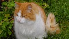 Orange and white Norwegian Forest Cat.