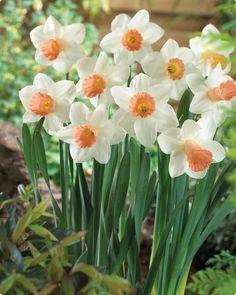 Cut flowers | Pink Silk Trumpet Daffodil
