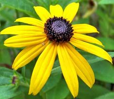 Black Eyed Susan 500 Seeds Organic, Beautiful Vivid Bright Colorful Flowers sold by Smart Garden Seed. Shop more products from Smart Garden Seed on Storenvy, the home of independent small businesses all over the world. Colorful Flowers, Wild Flowers, Beautiful Flowers, Black Eyed Susan Flower, Sunflower Family, Smart Garden, Flower Stands, Garden Seeds, Native Plants