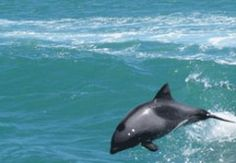 Page 5 of 10 / Find Things To Do in Cape West Coast. Popular activities for tourists like Die Strandloper Restaurant, Windsurfing on the Langebaan . Windsurfing, West Coast, South Africa, Whale, Stuff To Do, Things To Do, Travel, Animals, Things To Make