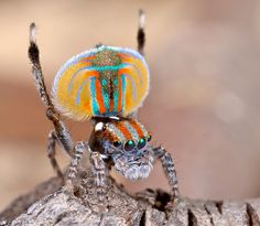 Peacock spider, Maratus volans, by Jurgen Otto, via Flickr
