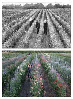 Growing sweet peas then and now! Above: 1909 Below: 2015 Photos from the… Growing Flowers, Cut Flowers, Cottage Garden Plan, Growing Sweet Peas, Flowers For Sale, Herbaceous Border, Flower Farmer, Cut Flower Garden, Market Garden