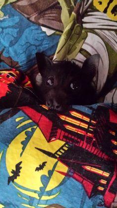 Too cute Batman blankie! Most Beautiful Animals, Beautiful Cats, Beautiful Creatures, Cute Batman, Animals And Pets, Cute Animals, Bat Flying, Baby Bats, Fruit Bat