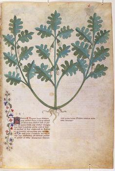 On Plants — Viewer — World Digital Library Botanical Drawings, Botanical Illustration, Botanical Prints, Medieval Manuscript, Illuminated Manuscript, Illustration Botanique, Natural Curiosities, Science And Nature, Book Design