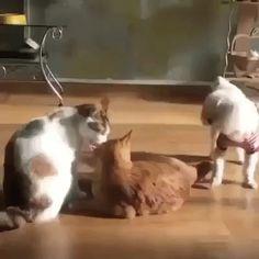 Cat slaps dog #OMG La jalousiiie
