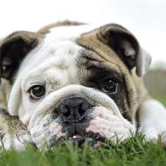 Make Massive Change To Your Bulldog´s Behaviour in Just 1 Day! - bulldog #bulldog