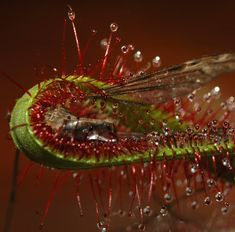 Челюсти сомкнулись. La presa. . . . #drosera #capensis #plantascarnívoras #carnivorousplants #carnis #macro #macrophotographer… Meat
