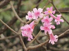 flor del roble sabana - Google Search