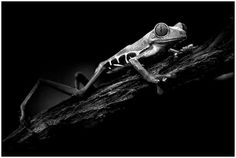 White & Black Photography - Frog -It takes such a talent to ...