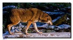 Im Winter sehen sie besonderes prächtig aus, Europäischer Wolf. Kangaroo, Winter, Animals, Blog, Kunst, Nice Asses, Baby Bjorn, Winter Time, Animales