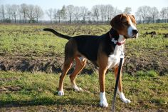 dog in the field phot Beautiful Hamiltonstovare dog ...