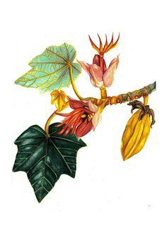 Chiranthodendron pentadactylon - Elyana Ochoa Mandujano