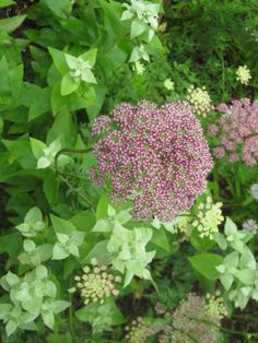 Pycnanthemum muticum 初夏の香り 広葉マウンテンミント  ビターガーデニング
