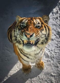 Cats, pictures of cute kittens, playing and doing funny thing to cheer up and bring smile onto your face. now could you smile Big Cats, Cool Cats, Cats And Kittens, Animals And Pets, Funny Animals, Cute Animals, Beautiful Cats, Animals Beautiful, Beautiful Smile
