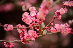 Extra Pink -- Kitano Tenmangu Shrine (北野天満宮) -- Kyoto, Japan -- Copyright 2013 Jeffrey Friedl, http://regex.info/blog/ -- This photo is lice...