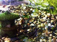 えびさんの画像 by SEISHINさん|えびちゃんとマイ・コレクションと和風庭園と和風ティストと日本の伝統と植中毒と今日の一枚と水生植物とアクアリウム (2016月10月6日)|みどりでつながる🍀GreenSnap