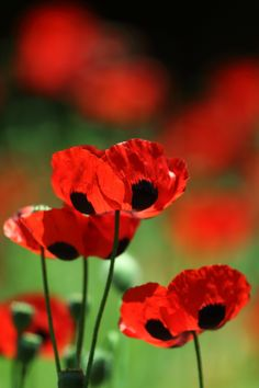 Iphone Wallpaper Yellow, Blurred Background, Made In America, Red Poppies, My Flower, Still Life, Flora, Artsy, Poppy