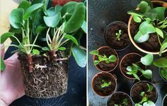 stikling fra pilea peperomioides