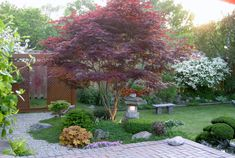 BEautiful Japanese maple, coral bells, 2 or 3 different blue-green ground covers ( thyme, sedum?), large rocks, 3 low rounded ?evergreens? , phlox, ?lenten rose  asian landscape by Q. Le