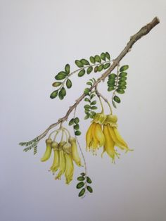 """Sophora tetraptera """"kowhai"""" (NZ native) for Gill and Denis in celebration of their wedding anniversary Tree Illustration, Botanical Illustration, Botanical Drawings, Botanical Art, Flower Outline, Nz Art, Kiwiana, Plant Drawing, Watercolor Drawing"""